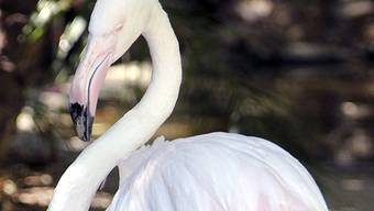 Flamingo Greater war blind.