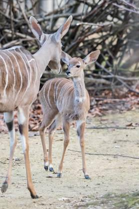 Kudu und Giraffe Jungtier Zoo Basel Zolli (5)