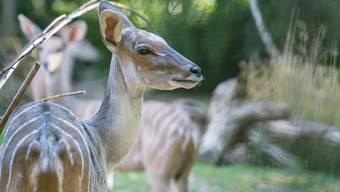Kleiner Kudu verstorben