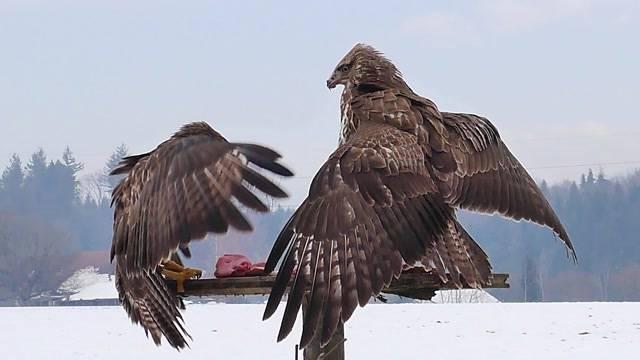 Greifvögel bei Schnee füttern oder nicht?
