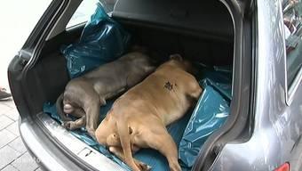 Der Besitzer zeigt seine erschossenen Kampfhunde, die er vorerst im Kofferraum seines Autos aufbewahrt.