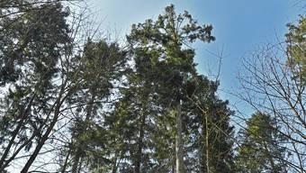 Diese Weisstanne zählt zu den 114 Biotopbäumen des Reviers.
