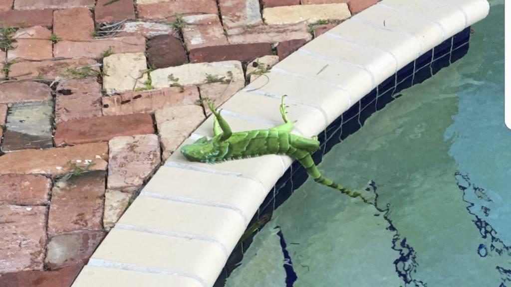 Weil es so kalt ist, fallen in Florida die Leguane von den Bäumen.