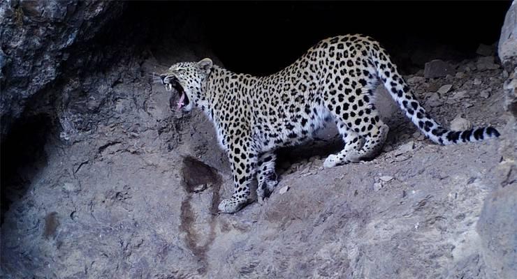 Sie galten als ausgestorben: Doch nun sind bereits zehn verschiedene Kaukasus-Leoparde in die Kamerafallen von Tierschützern getappt.