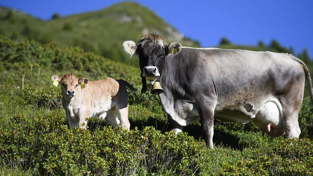 Das Parlament will, dass Kälber wieder früher auf Schlachtviehmärkten angeboten werden dürfen.