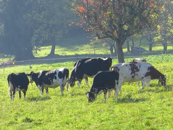 So ist es, am 31. Oktober 2017, die Kühe grasen bei unserm Nachbarn in der Wiese.