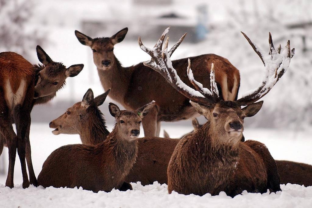 Rothirsch ist Tier des Jahres (© Keystone)