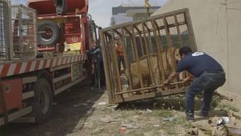 In einer aufregenden Rettungsaktion hat die Tiertschutzorganisation VIER PFOTEN drei Raubkatzen aus der Gefangenschaft befreit und sie in eine Grosskatzenauffangstation in Südafrika gebracht.