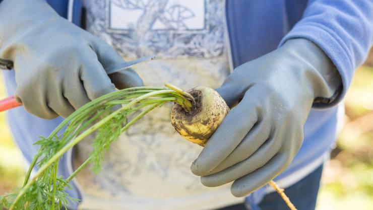 Die Küttiger Landfrauen haben letztes Jahr rund eine Tonne Rüebli produziert, dieses Jahr dürfte es ähnlich viel sein - je nach Wetter.