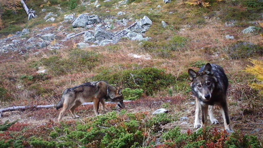 In Elm GL wurden sechs Schafe von einem einzelnen Wolf oder einem Wolfsrudel gerissen. (Archivbild)