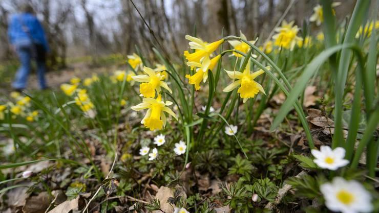 Zaghaft meldet sich der Frühling: Osterglocken in einem Waadtländer Wald