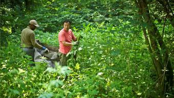 Brugg nimmt am kantonalen Pilotprojekt «invasive Neobiota» teil. Das Foto zeigt die Neophytenbekämpfung im Lenzburger Wald.