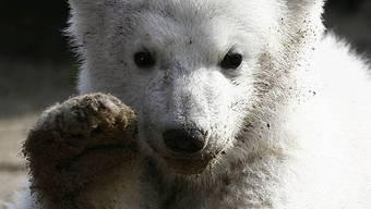 Knut im Zoo Berlin 2007 (Archiv)