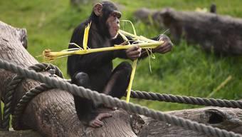 Schimpansen erlernen komplexe Fingerfertigkeiten, weil sie ein grösseres Gehirn als andere Affenarten haben.