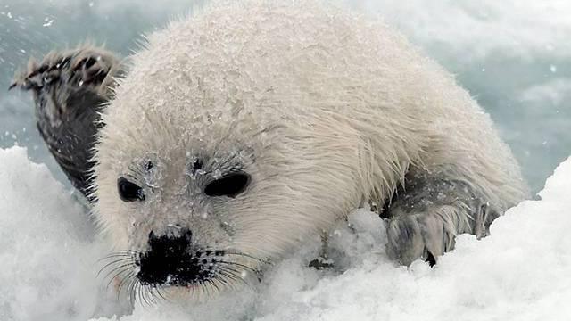 Felle und andere Teile der Robbe sollen nicht mehr in die Schweiz eingeführt werden dürfen. (Archiv)