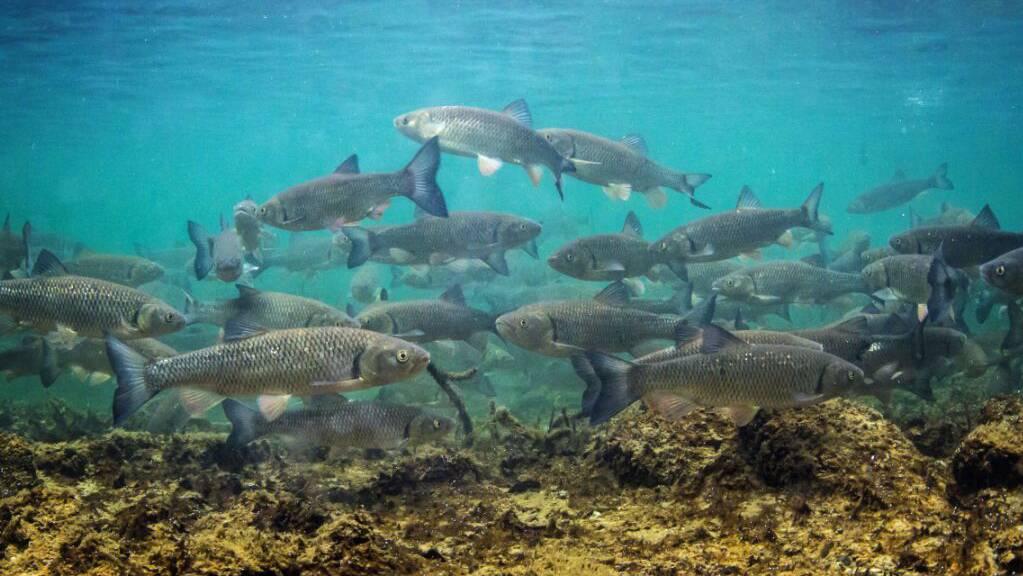 Der Alet – Fisch des Jahres 2021 – ist sehr robust und deshalb trifft man ihn in fast in allen Gewässern der Schweiz an.
