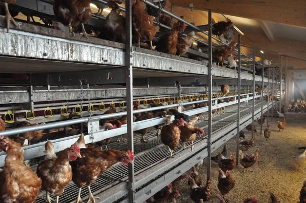 Im Stall können sich die Hennen auf mehreren Etagen verteilen