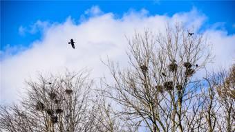 Nicht alle freuen sich über die akrobatischen Flugspiele der Saatkrähen, die im Villmerger Torbehölzli nisten.