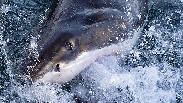 Ein weisser Hai (Symbolbild, Archiv)