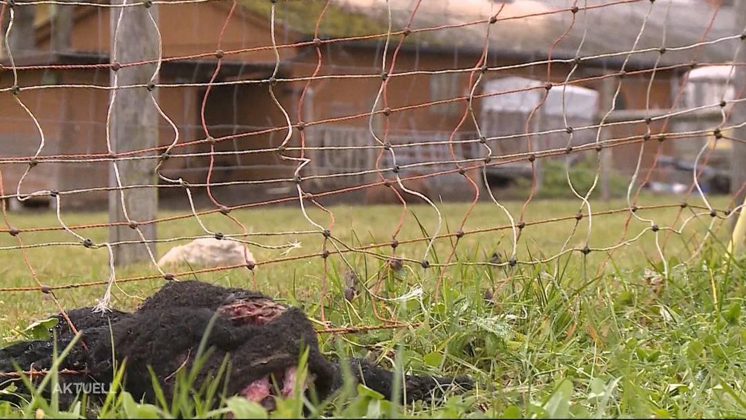 Tierquälerei? Lamm hängt seit Tagen in Zaun
