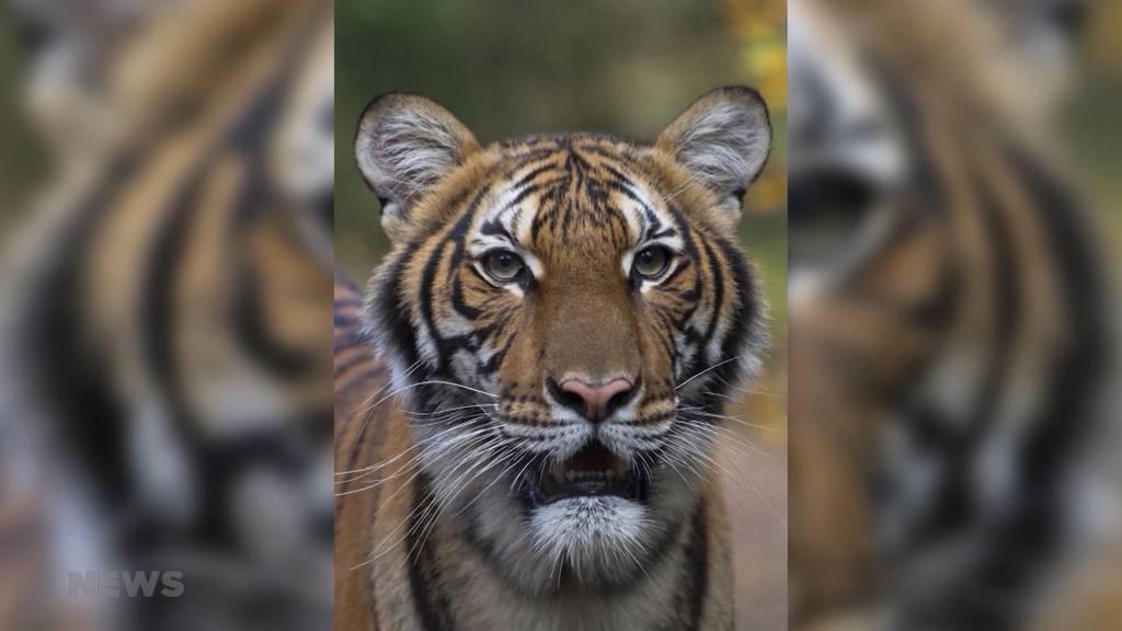 Tigerdame positiv auf Corona getestet
