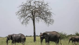 Eine Mehrheit der Delegierten haben sich an der Uno-Artenschutzkonferenz in Genf für eine weitreichendes Verbot des Elefanten-Handels ausgesprochen. Für Umweltschützer ist das ein historischer Sieg. (Archivbild)