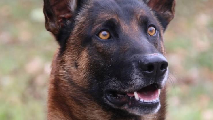 """Der Berner Polizeihund """"Blade von der Morgenstund"""" hat im Simmental einen Einbrecher gestellt."""