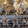 Aus diesen Fuchsfellen werden später Pelzprodukte. (Symbolbild)