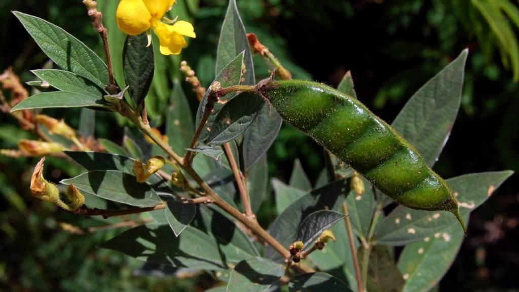 Straucherbsen, wie sie in tropischen Ländern von Kleinbauern angebaut werden. Ihre Fruchtbarkeit richtet sich nach der Umgebungstemperatur. (Wiki Commons)