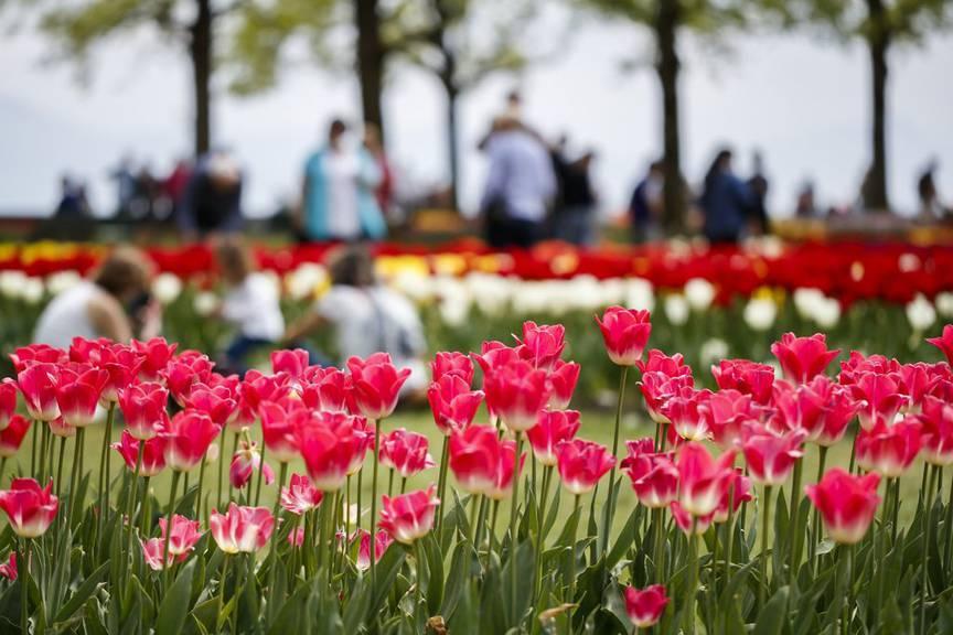 Der Name Tulpe geht aufs Türkische und Persische zurück und bezeichnete ursprünglich einen Turban. (Bild: Keystone/Valentin Flauraud)