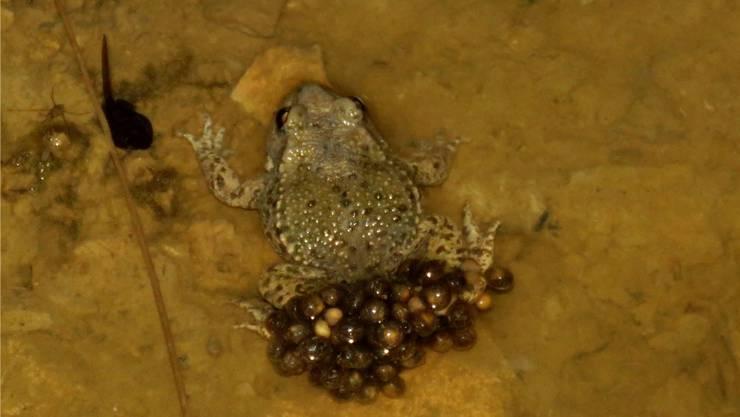 Ein Geburtshelferkröten-Männchen mit reifen Eiern im Ersatzbiotop. Links ist eine Larve zu sehen.