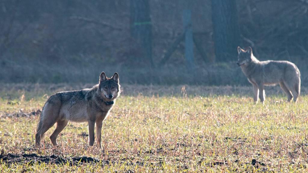 Bund lehnt Abschussgesuch für zwei Bündner Jungwölfe ab