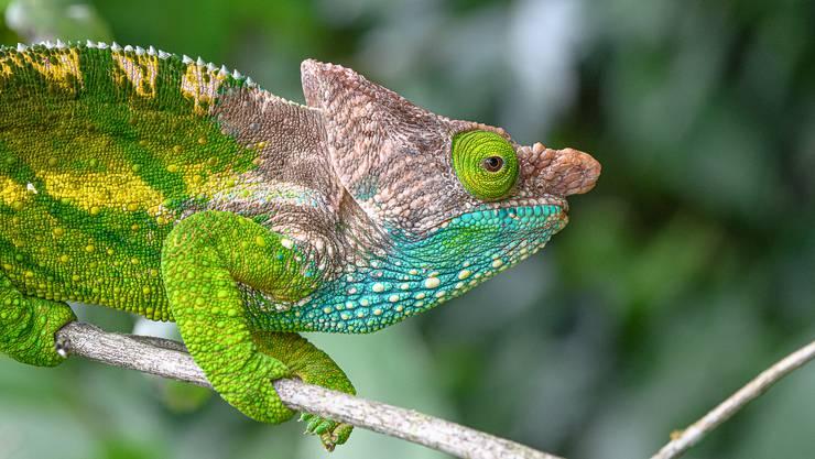 Chamäleons haben in ihrer Haut mikroskopisch kleine Strukturen, die einfallendes Licht verändern können.