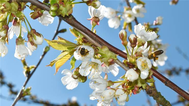 Die Kirschblüten werden bei herrlichem Frühlingswetter bestäubt.