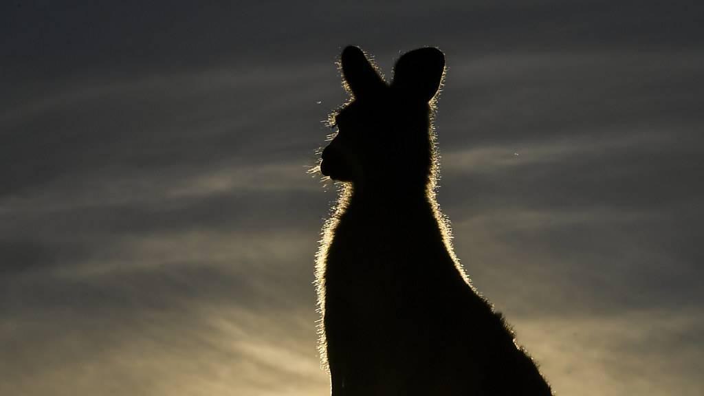 Er tötete 20 Kängurus: Teenager droht Freiheitsstrafe