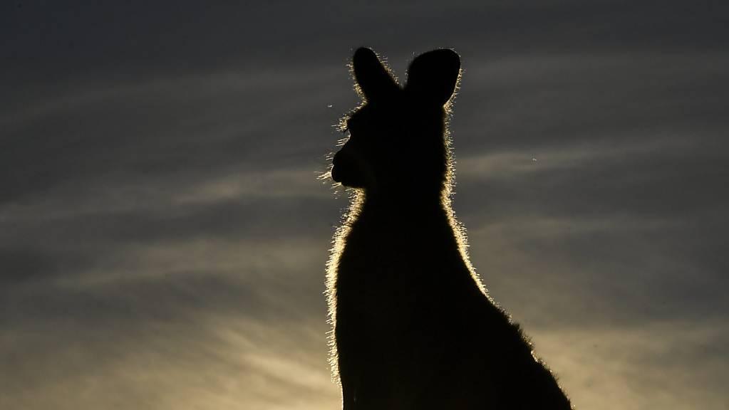 Ein junger Australier wird beschuldigt, mit einem Auto absichtlich 20 Kängurus getötet zu haben. (Themenbild)