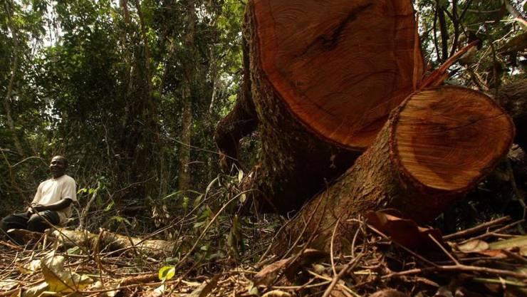 Gefällte Bäume in Nigeria, wo seit 1990 rund 60 Prozent des Waldes zerstört wurden. (Archivbild)