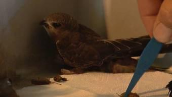 Wegen der hohen Temperaturen springen die Jungtiere fluchtartig aus den Nestern, obwohl sie noch gar nicht flugfähig sind.
