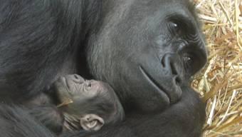 Gorillageburt im Zoo Zürich