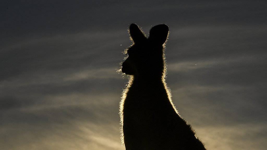 Das Känguru verschwand im Schutz der Dunkelheit. (Symbolbild)