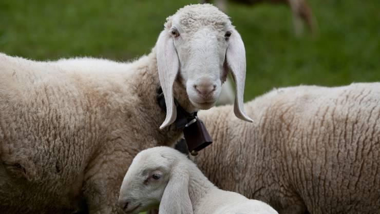 Die Saaser Mutten, mehrheitlich im weissen Fellkleid, sind gut an ihren langen Ohren und ihren stark ausgebildeten Ramsnasen zu erkennen.