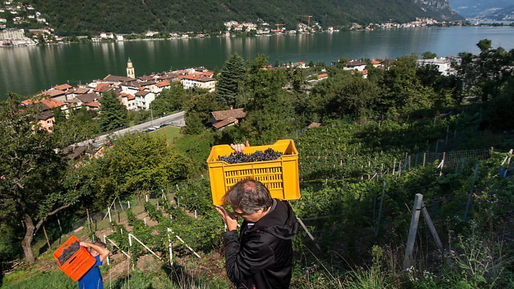 Weniger Trauben, dafür von guter Qualität: Die hohen Temperaturen im Juli bekamen auch die Tessiner Weinbauern zu spüren (Archivbild).