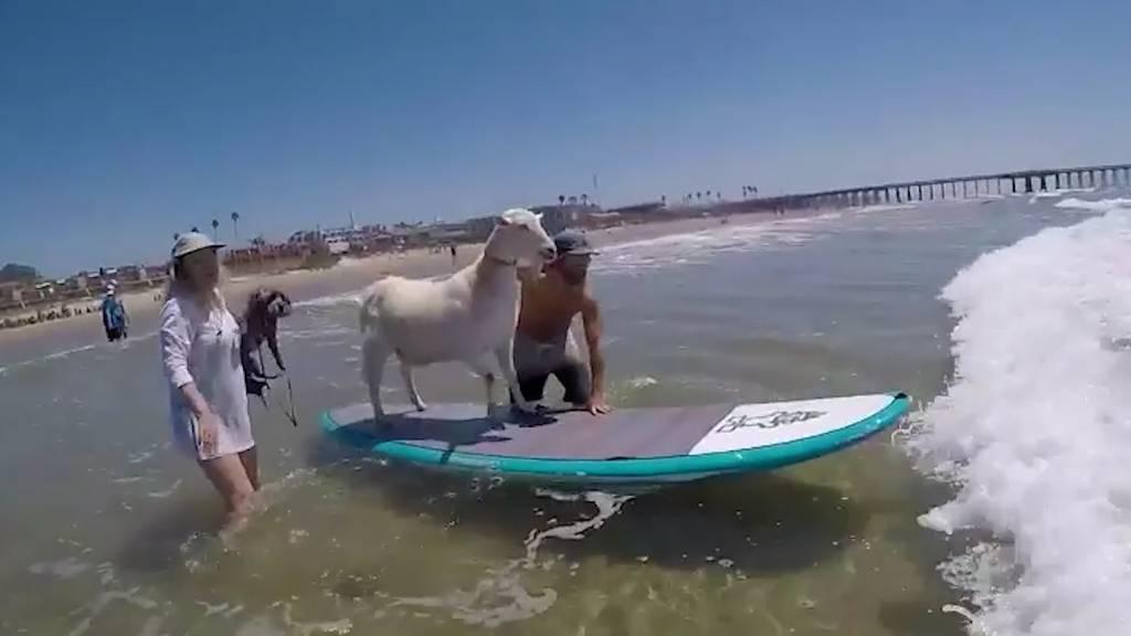 Diese Geiss bringt Kindern das Surfen bei
