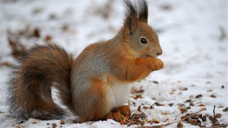 Im Herbst legen Eichhörnchen ihren Wintervorrat an.
