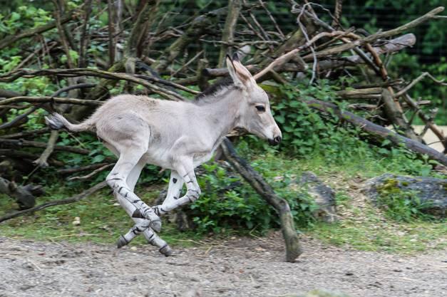Es ist das 41. Somali-Wildesel-Fohlen, das im Zoo Basel aufwächst.