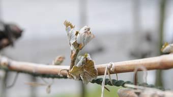 Am Mittwoch war dieser Trieb eines Rebstocks noch grün und saftig. Wegen des Frosts ist er abgestorben und wird keine Trauben produzieren.