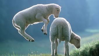 Ein einziges Ostermenü gibt es nicht - an vielen Orten gehört aber Lammfleisch dazu.