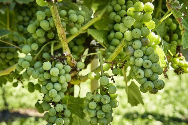 «Man sagte mir, du spinnst, in Schlieren gibt es keinen Südhang. Und heute sind die Weinstöcke samt Trauben ein schöner Beweis für das Gegenteil. Der Steiacher ist der einzige Südhang in Schlieren», sagt Paul Burkhard.