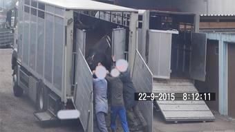 In den Videos ist zu sehen, wie die Verantwortlichen die Kühe in einen Transporter zwängen.
