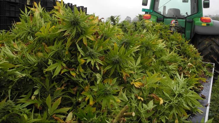 Hanf Hanfernte Selzach CBD Cannabis